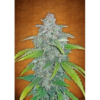 Blue Dream`Matic Auto FastBuds