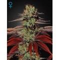 Kings Kush Auto GREEN HOUSE SEEDS