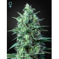 White Widow Auto CBD GREEN HOUSE SEEDS