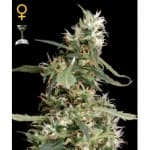 Arjan's Ultra Haze#1 Green House Seeds