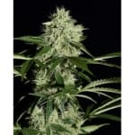 Northern Lights Auto Green House Seeds