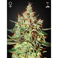 K-Train - GREEN HOUSE SEEDS