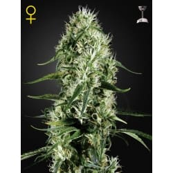 Super Silver Haze - GREEN HOUSE SEEDS