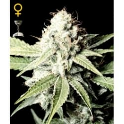 Great White Shark - GREEN HOUSE SEEDS
