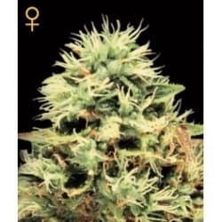 Super Bud Green House Seeds