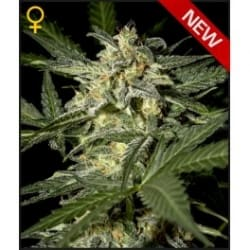 White Widow Auto - GREEN HOUSE SEEDS