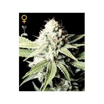 Great White Shark GREEN HOUSE SEEDS
