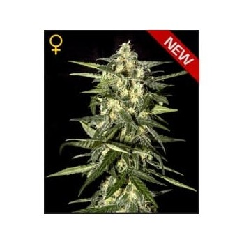 Jack Herer Auto Green House Seeds