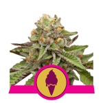 Green Gelato Royal Queen Seeds
