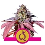 Purple Queen / Royal Queen Seeds