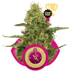 Northern Light Royal Queen Seeds