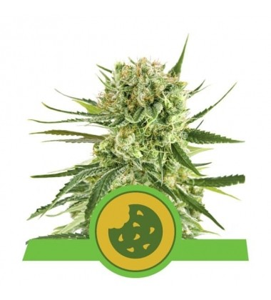 Royal Cookies Automatic / Royal Queen Seeds