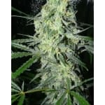 SexBud Female Seeds