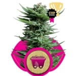 Shining Silver Haze / Royal Queen Seeds