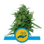 Solomatic CBD Automatic Royal Queen Seeds