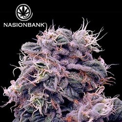 Bluberry auto nasiona marihuany