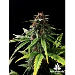 Auto Speed Bud Female Seeds