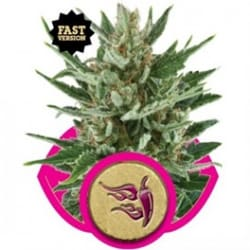 Speedy Chile Fast / Royal Queen Seed