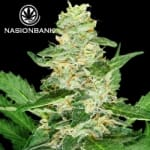 Super Skunk Automatic Feminized